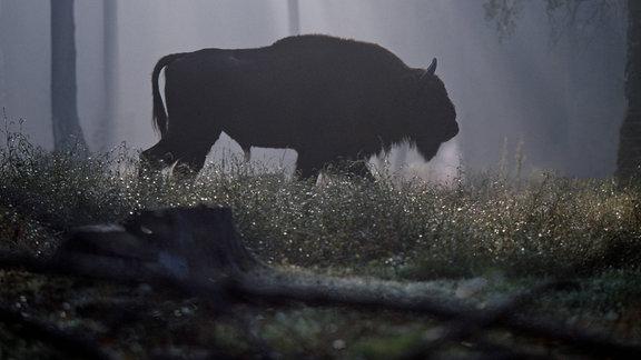 Wisentbulle streift im Morgenlicht durch den Urwald von Bialowieza in Ostpolen
