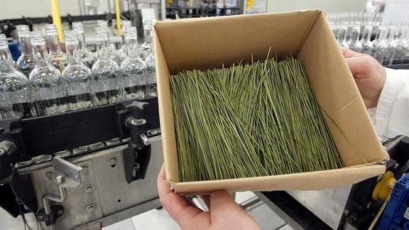 Bison-Grashalme werden während der Zubrowka-Wodkaherstellung zugegeben.