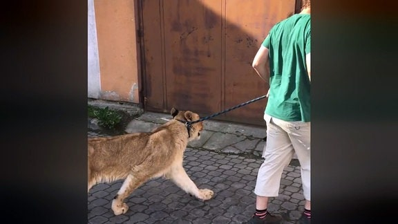 Mann führt Tiger an einer Leine