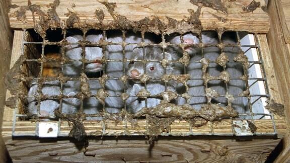 mehrere Tiere schauen durch die Gitterabdeckung einer engen Holzkiste auf einer Pelzfarm