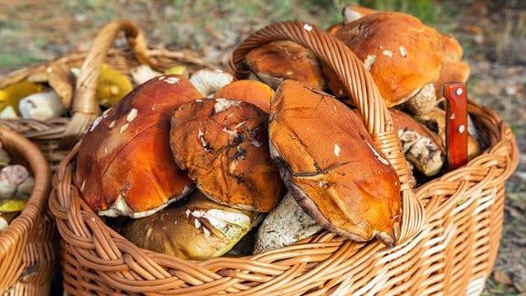 Gesammelte Pilze in Wiedenkorb.