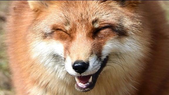 Ein Fuchs mit vermeintlich lächelndem Gesichtsausdruck.