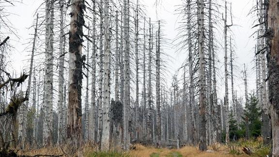 Baumsterben im Nationalpark Harz