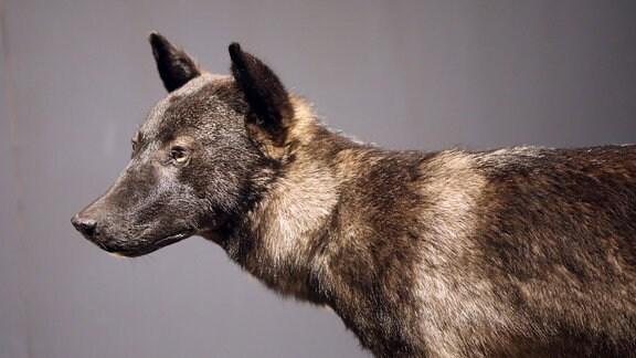 Der Wolfshybrid von Ohrdruf steht im Naturkundemuseum