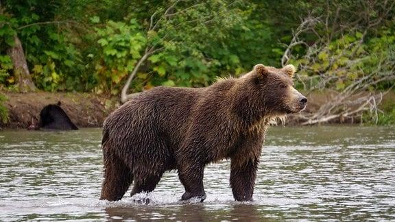 Ein Kamtschatka-Bär im Kurilensee