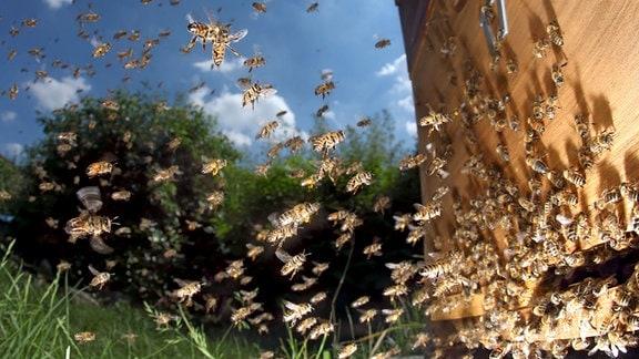 Honigbienen im Anflug auf ihren Bienenstock