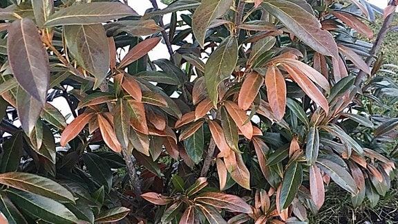 braune Blätter am Kirschlorbeer