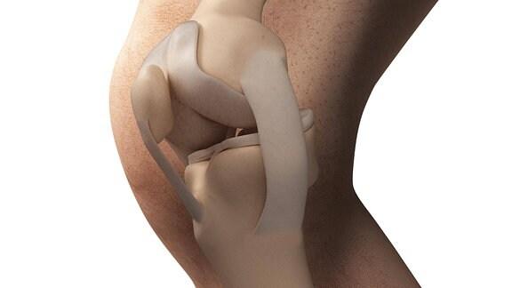 Anatomische Darstellung eines Knies