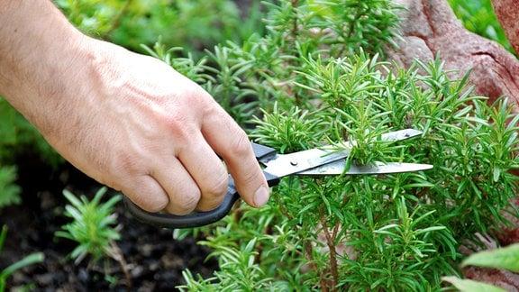 Ein Zweig frischer Rosmarin wird abgeschnitten.