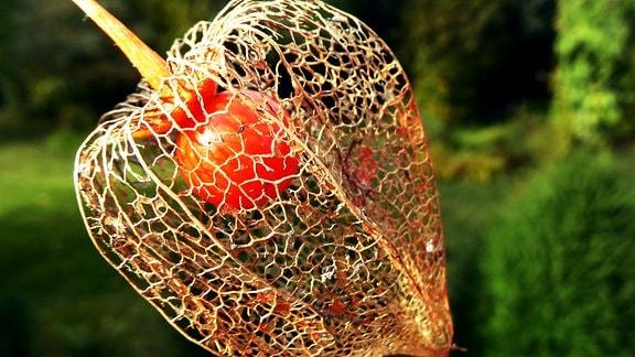 Wetterbild Harz Lampionblüte