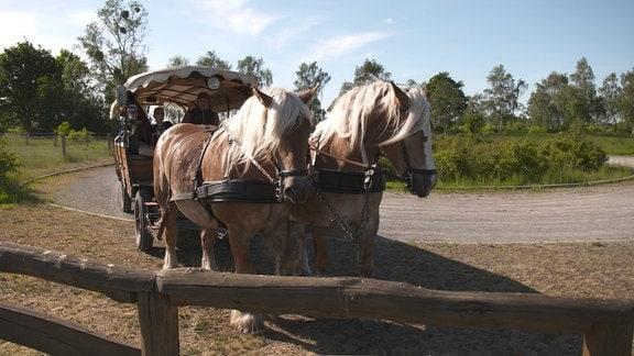 Pferde Egon ziehen einen Kremser durch den Drömling.