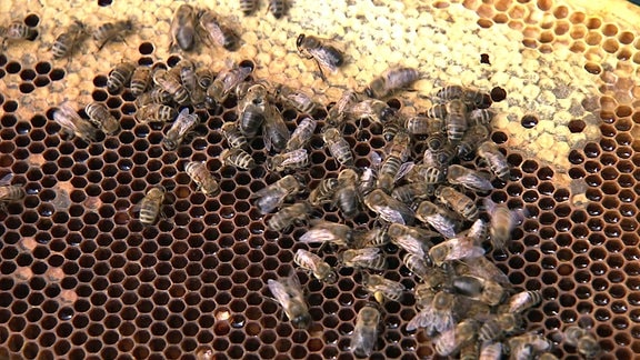 Mehrere Bienen sind in einem Bienennest und sitzen auf ihren Waben