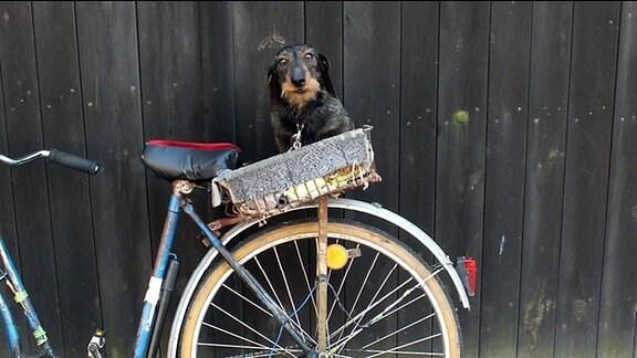 Hund in einem Fahrradkorb