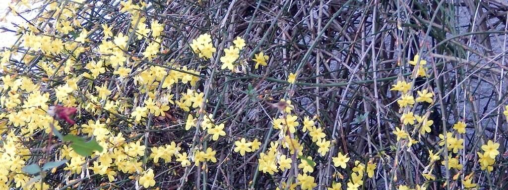 Winterjasmin Pflanzen Und Pflegen Mdr De
