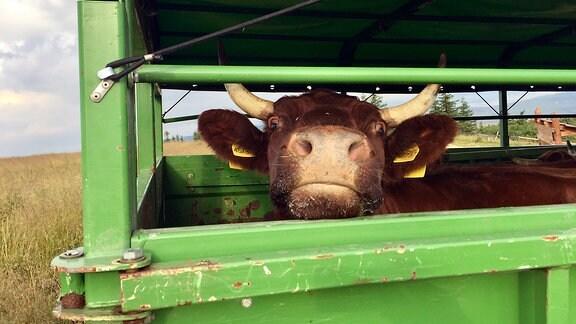 Erstmals seit vielen Jahren weiden wieder Kühe auf dem Brocken