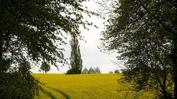 Blick zwischen zwei Bäume auf ein blühendes Rapsfeld