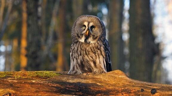 Rauhfuss-Kauz (Aegolius funereus), sitzt im Wald auf einem toten Ast.
