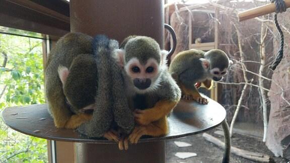 Drei Totenkopfaffen sitzen auf einer Plattform im Affengehege im Bergzoo Halle