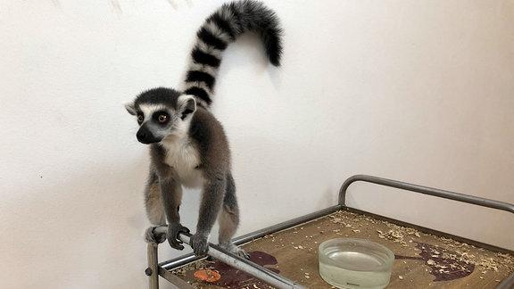 Ein Lemur klammert sich an die Halterung eines rollbaren Tisches
