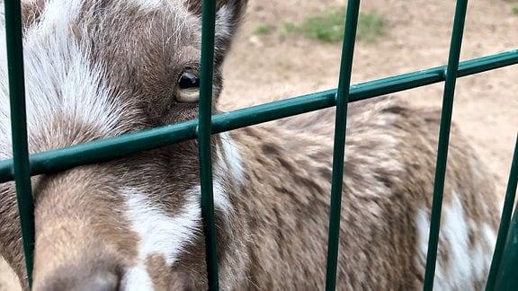 Eine Ziege streckt ihr Maul durch das Gitter eines Geheges