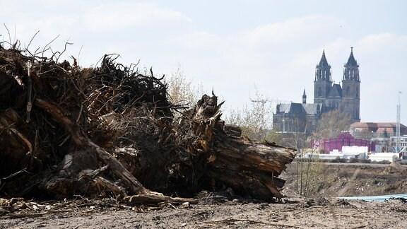 Gefällte Bäume auf dem Magdeburger Werder