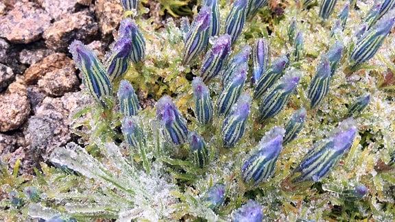 Mit Frost überzogene Blumen