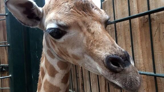 Der Kopf einer jungen Giraffe mit langen Wimpern