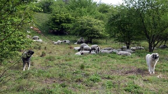 Zwei Hütehunden stehen vor einer Schafherde