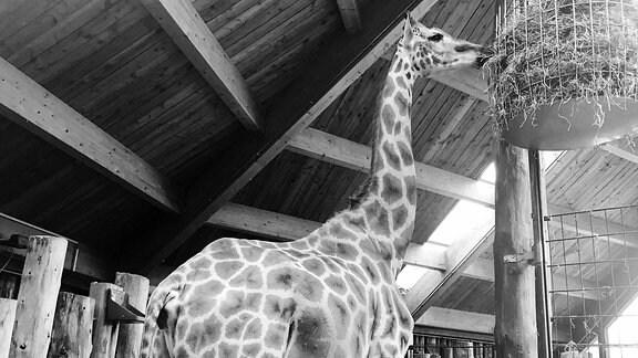 Giraffenkuh Femke frisst Stroh