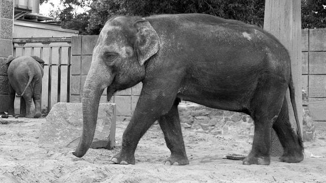 Female ♀ Asian elephant (Elephas maximus) Birma at Magdeburg Zoo