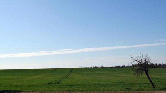 Foto eines grünen Feldes im Salzlandkreis, am rechten Bildrand steht ein Baum