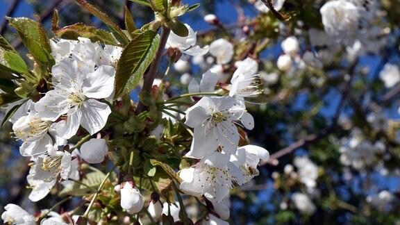 Nahaufnahme einer weißen Blüte im Frühling