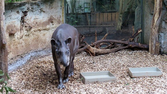 Ein Tapir