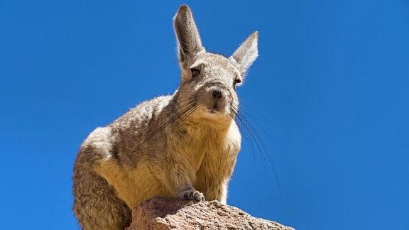 Cuvier-Hasenmaus (Lagidium viscacia) sitzt auf Fels.