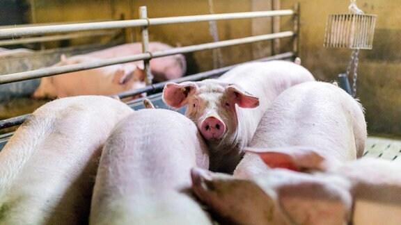 Hausschweine gehalten in einem koventionellen Schweinemastbetrieb.