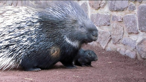 Stachelschweindame Lucy und ihr Baby