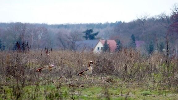 Gänse auf Wiese mit Haus im Hintergrund