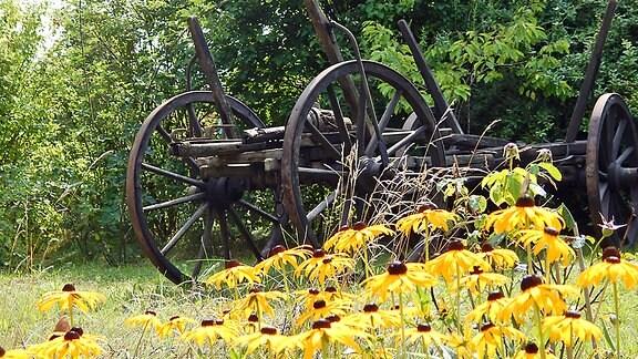 Alter Pflug mit gelben Blumen im Vordergrund