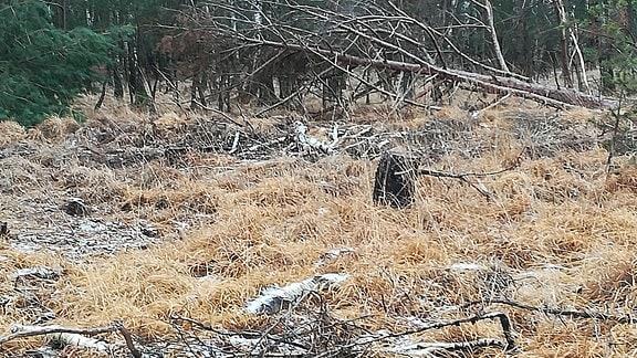 Birkenwald mit Gestrüpp und Ästen auf dem Boden