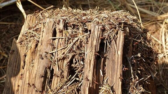 Ein Baumstumpf voller Ameisen