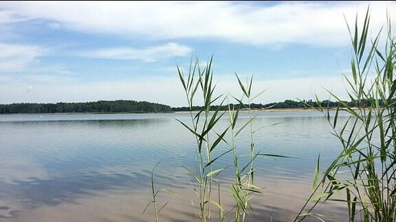 Schilfrohr steht am Ufer des Silbersees.