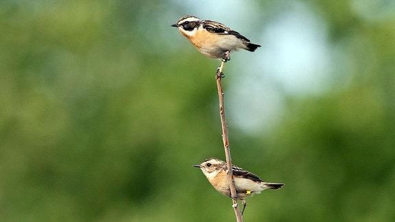 Braunkehlen Männchen und Weibchen auf der Warte
