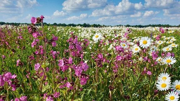 Wiese voller Blumen - Lebensraum Braunkehlchen