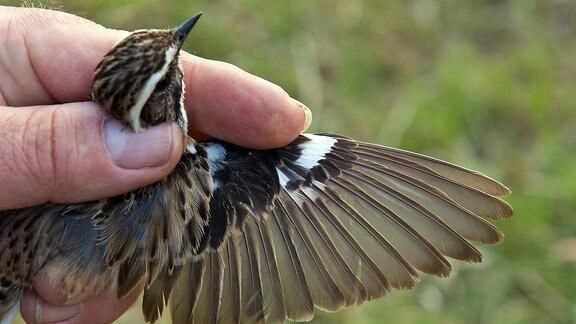 Braunkehlchen in der Hand mit gespreiztem Flügel
