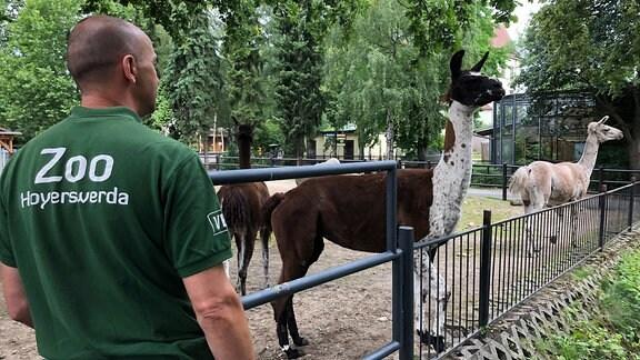 Ein Tierpfleger steht vor einem Gehege, in dem sich mehrere Lamas befinden.