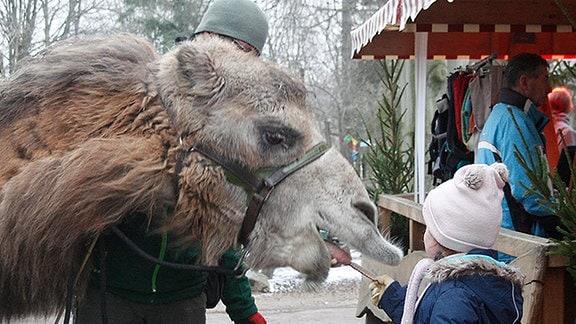 Ein Kamel frisst einen Keks aus der Hand eines Mädchens