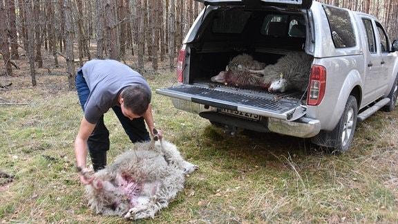 Tote Schafe nach Wolfsriss in Förstgen
