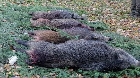 Vier erschossene Wildschweine nach einer Treibjagd.