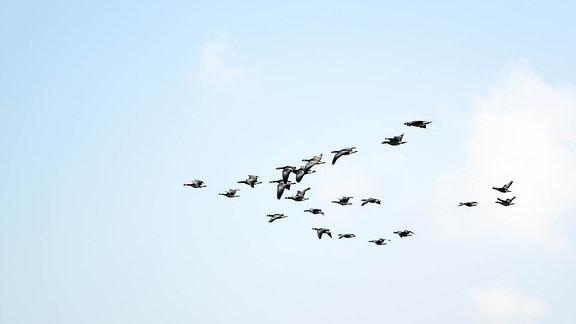 Ein Vogelschwarm fliegt in V-Formation