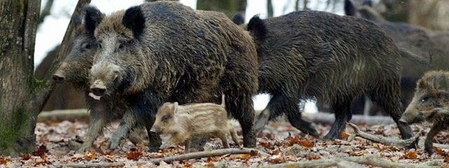f93b5f39d86ef0 Tierbestand gestiegen  Wildschweinjagd im Stadtpark Magdeburg
